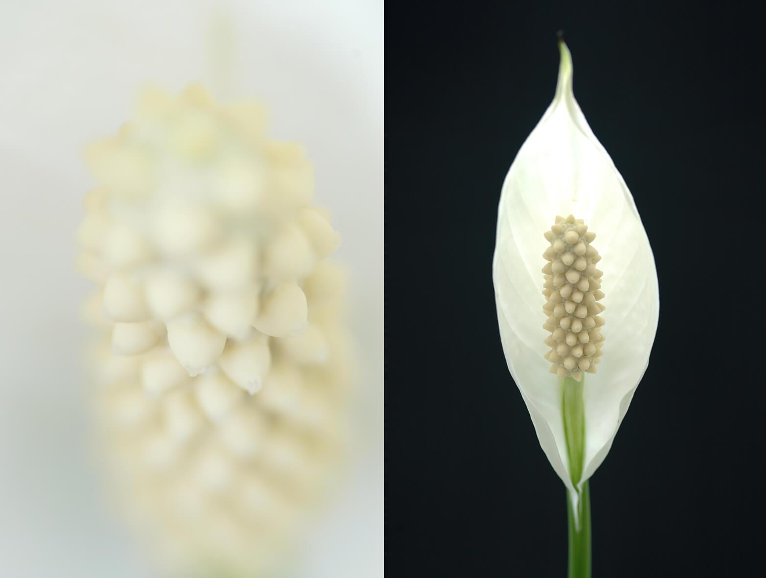 Spathiphyllum-05-june-2020.jpg