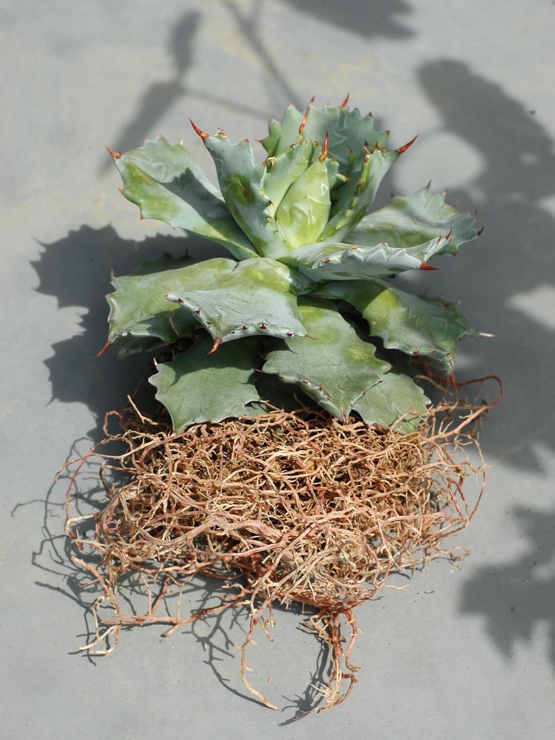 agave-potatorum-raijin-may-2020-02.jpg