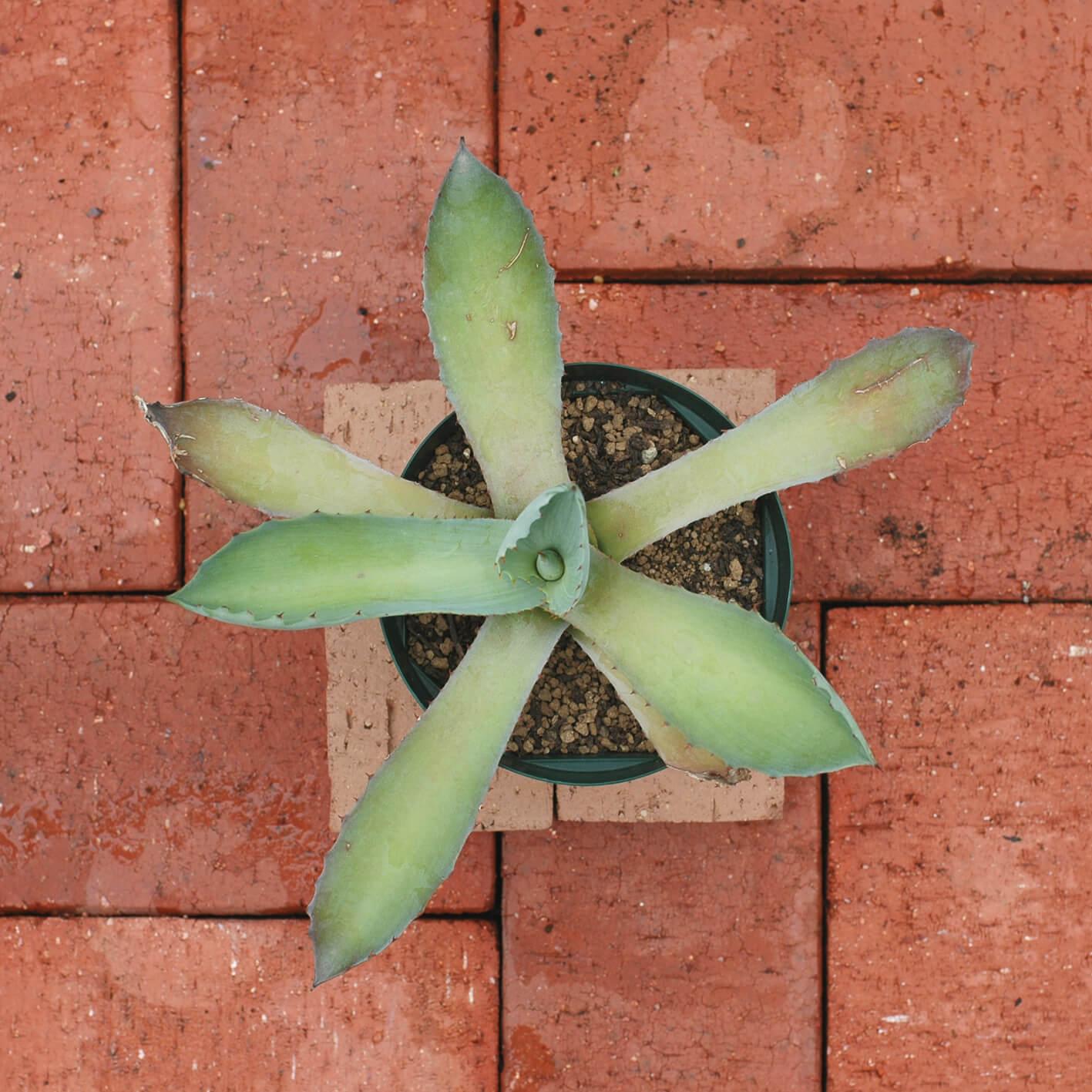 agave-seemanniana-may-2020-2.jpg