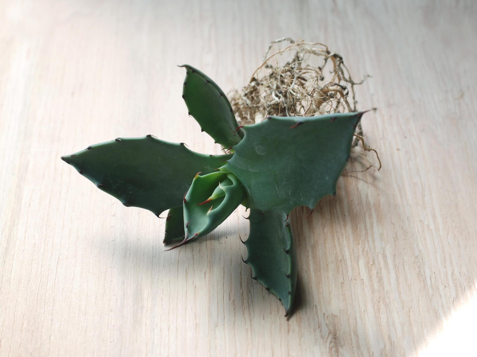 agave-shrevei-magna-roots-apr-2020.jpg