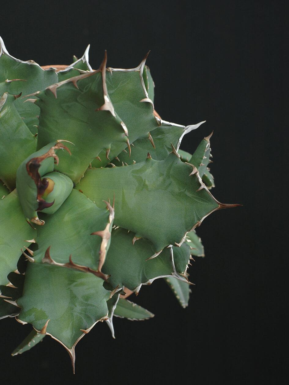 agave-titanota-may-2020b.jpg