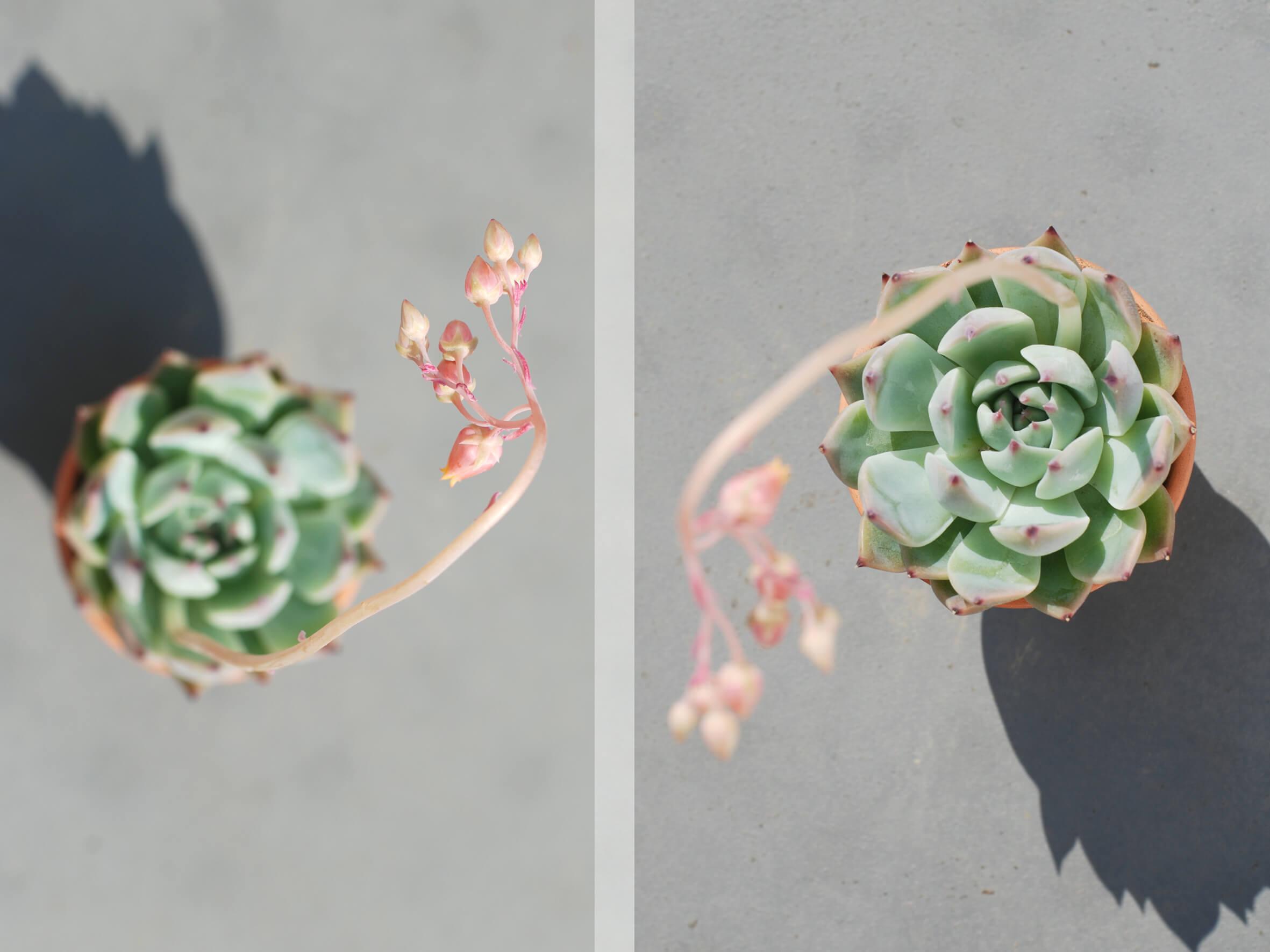 echeveria-chihuahuaensis-01-apr-2020.jpg