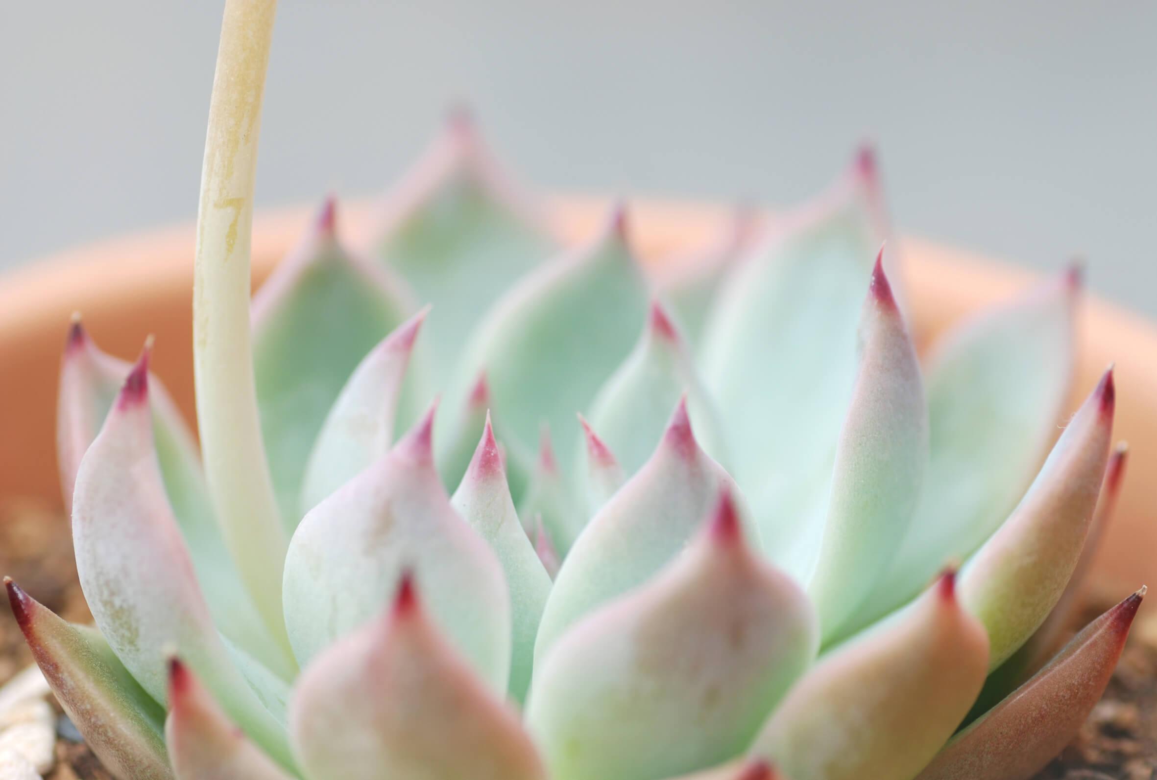 echeveria-chihuahuaensis-03-apr-2020.jpg