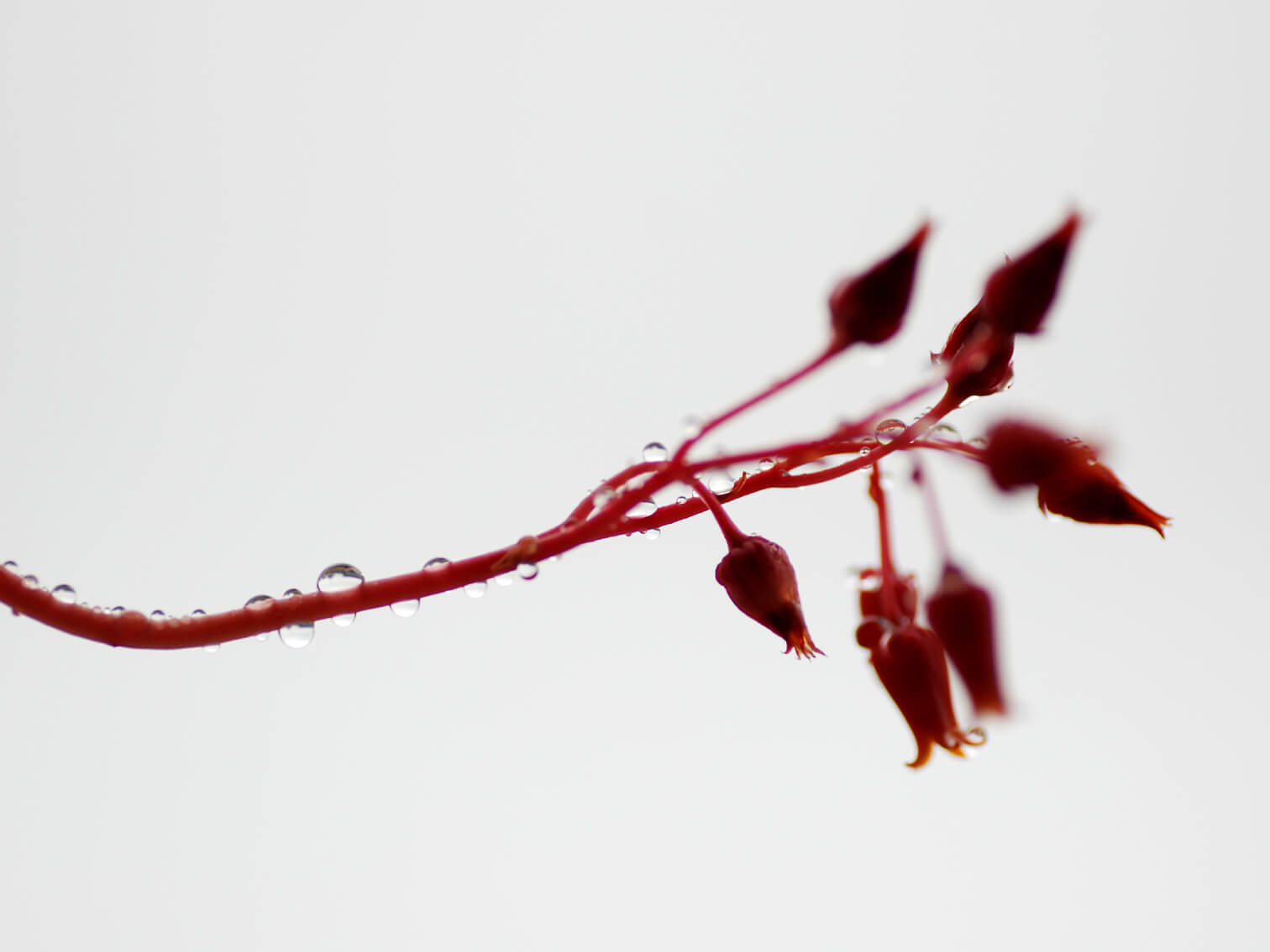 echeveria-chihuahuaensis-06.jpg